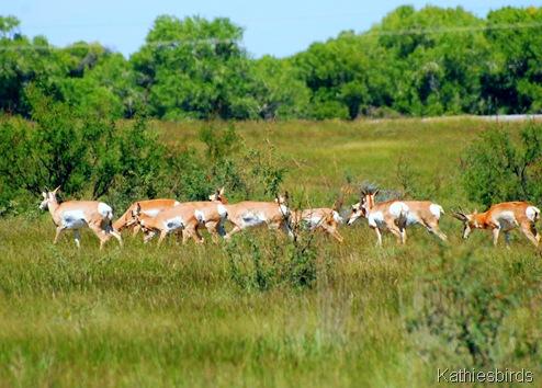 2. antelope harem-kab