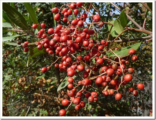 111115_Heteromeles-arbutifolia