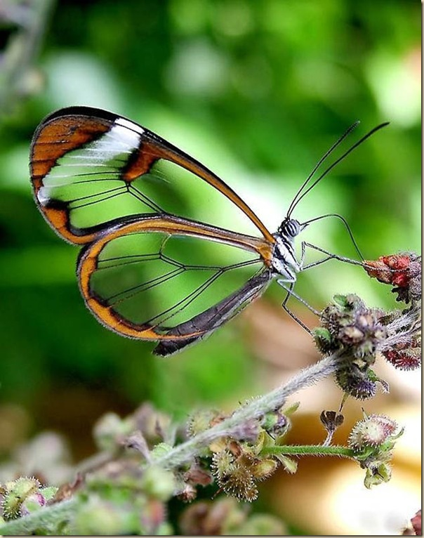 Greta oto un papillon transparent