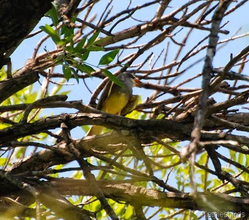 12. kingbird-kab