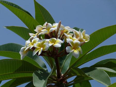 Flori Sri Lanka: frangipani