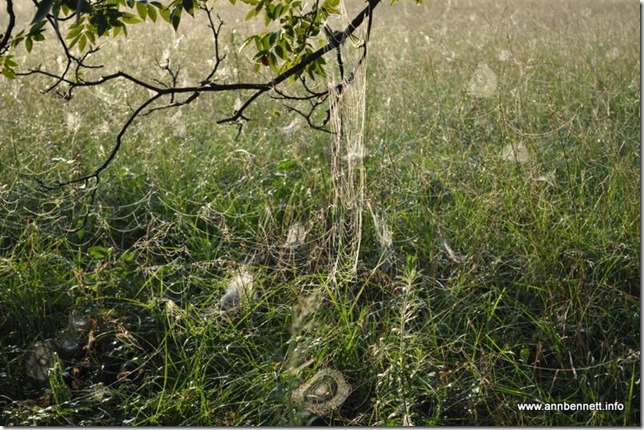more spider webs in grass