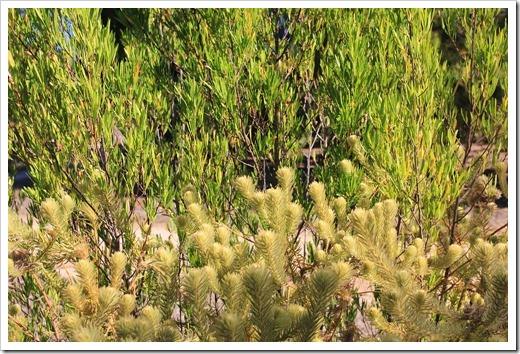 121027_UCSCArboretum_Phylica pubescens_01