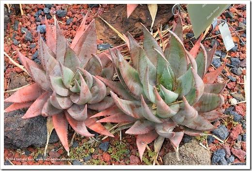 130403_Lotusland_Aloe-Garden_AM_Aloe-chabaudii_01
