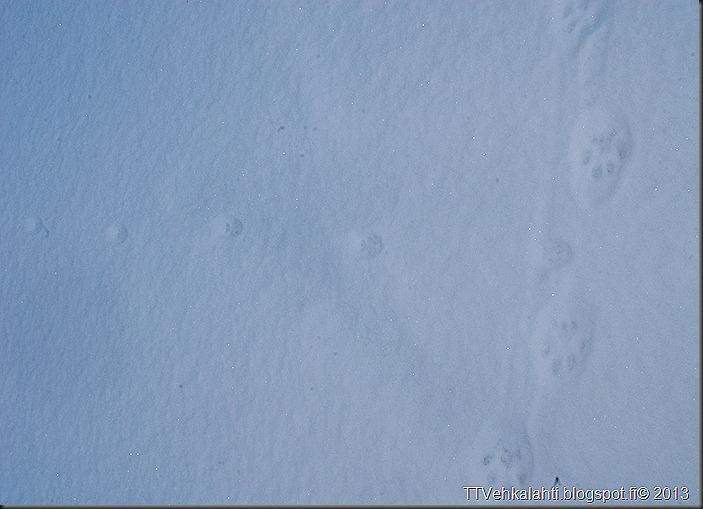 ilves tassujälki lumessa finpyyntie  kimaluskuvia 126
