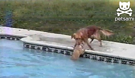 Amazing-Dog-Lifeguard-Rescues-Pup-03