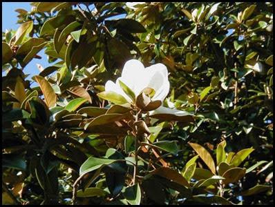 magnolia_flower3