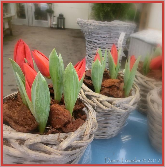 2012-02-20 semla, tulips