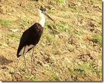 150 Woolly-necked Stork ( Safed Dock Dhanak )