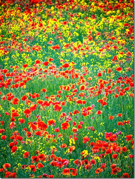 P1240667A-Poppies-20x15inch-Canvas