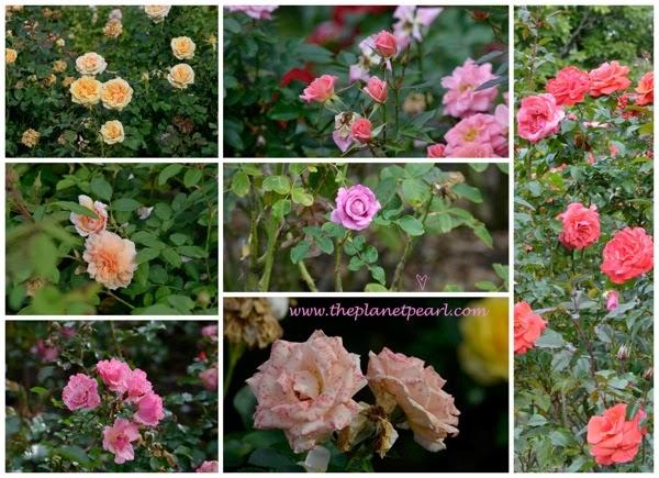 Roses at Hamilton Garden