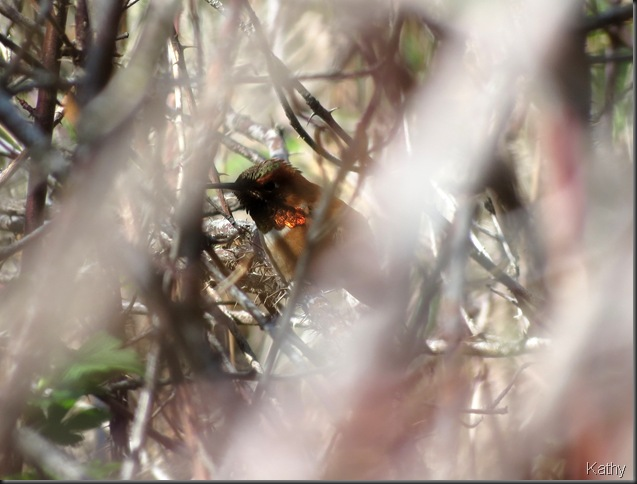 Rufous in the bushes