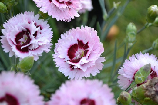 Pinks - double dianthus
