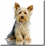 yorkshire_terrier_body