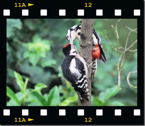 Male woodpecker feeding young 07 film png