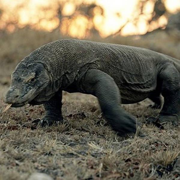 3- Dragões de Komodo
