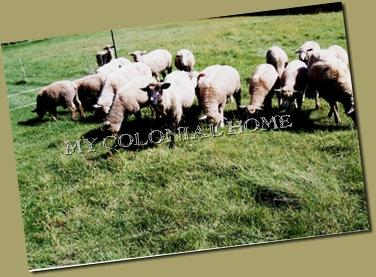 Sheep_0006