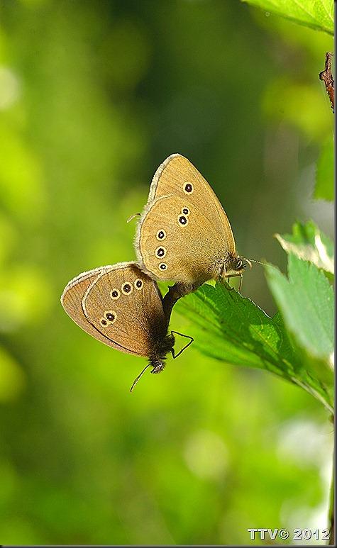 perhosia   057