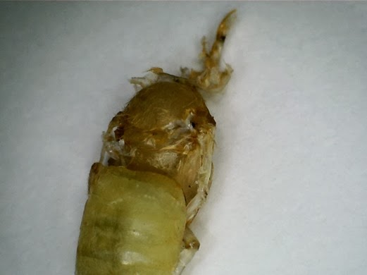 Swaddling bee - first picture of swaddling bee