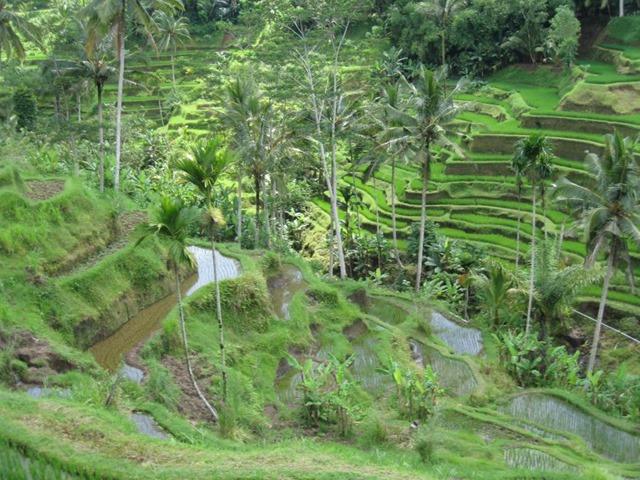 Piantagioni di Riso Bali