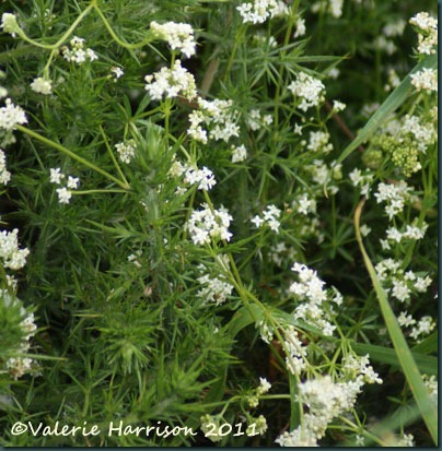 1-heath-bedstraw