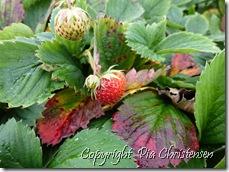 Jordbær på friland 18. sep. 2012