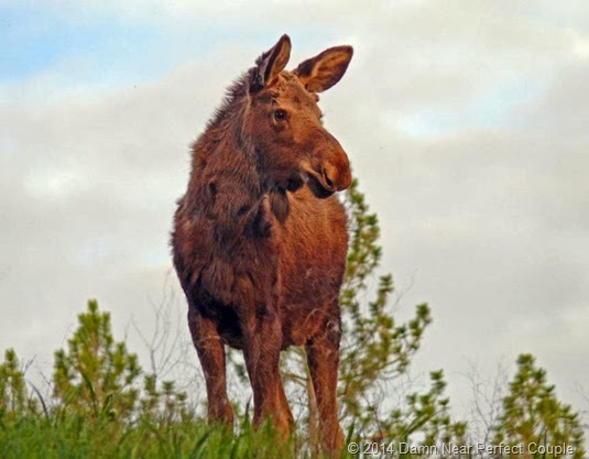 Turnbull NWR Moose