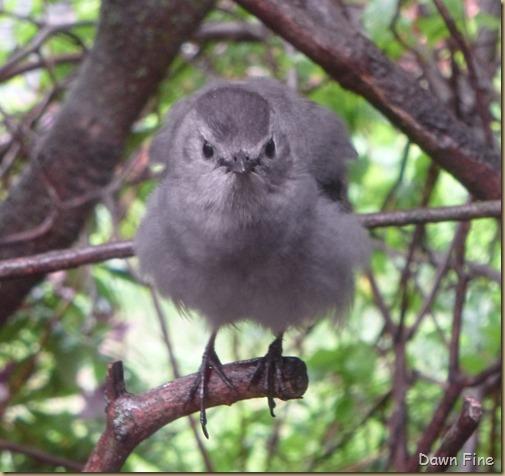 catbird_004