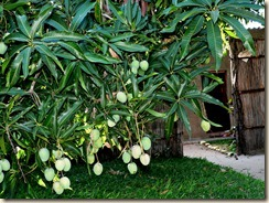 Mangoes at my door