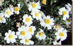 Blackfoot daisies 3-3-2012 10-17-51 AM 1489x926 3-3-2012 10-17-51 AM 1489x926
