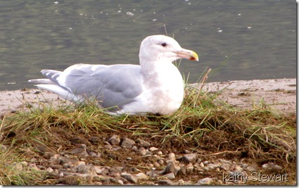 Relaxed Glaucous Wing Gull
