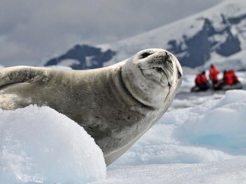 crabeater-seals-5