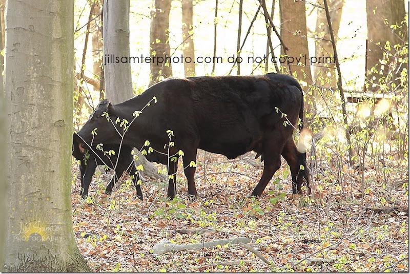 cows-6677