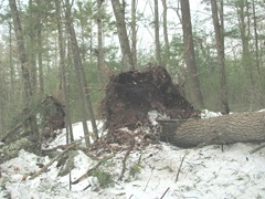Blizzard 2.12.2013 uprooted tree on U Einos land