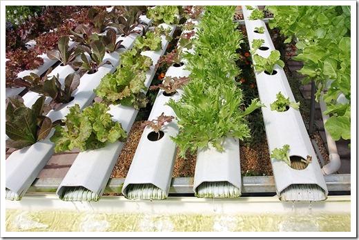 hydroponic-lettuce_1