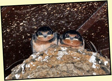 07 - Barn Swallow Chicks