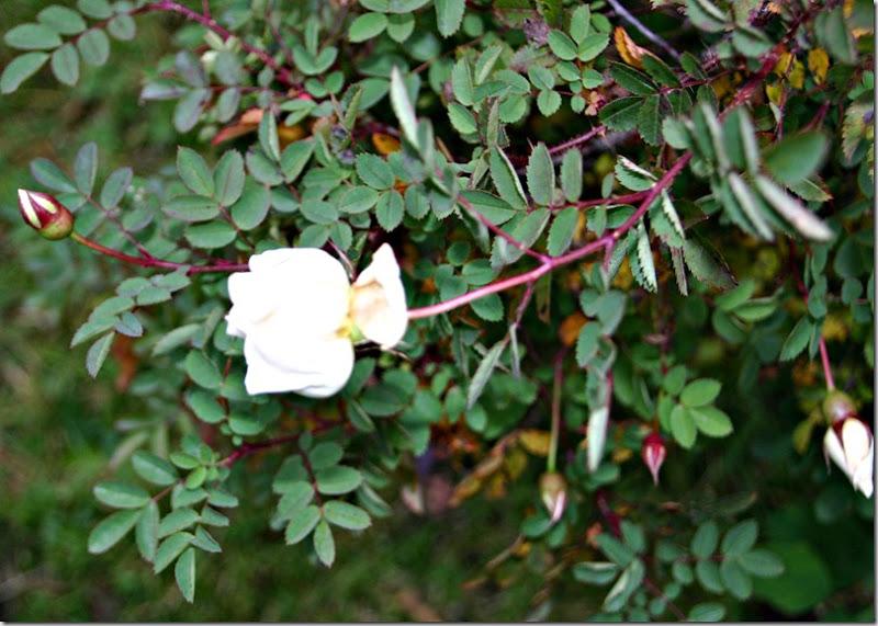 Finlands hvita ros