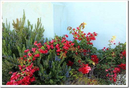 121028_SantaCruz_bougainvillea- -rosemary