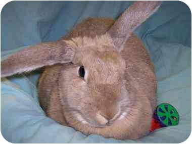 Rabbits are often use in cosmetic and toxicity testing. Daphne Dulappe is wanting a loving home. She is in Holbrook N.Y.