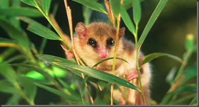 Amazing Animal Pictures Monito del monte (1)