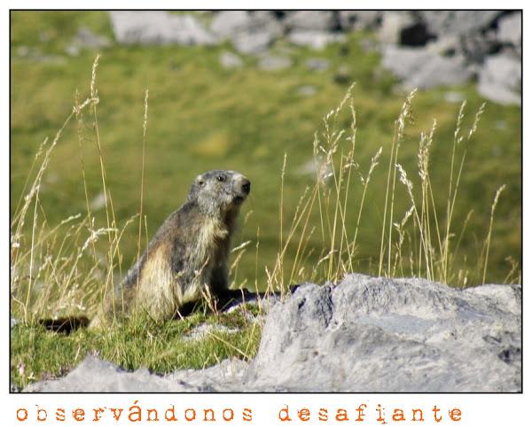 marmota que mira