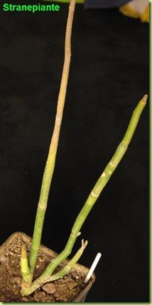 Pedilanthus secco