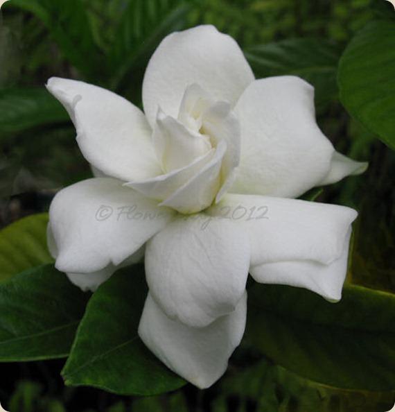 05-13-first-gardenia