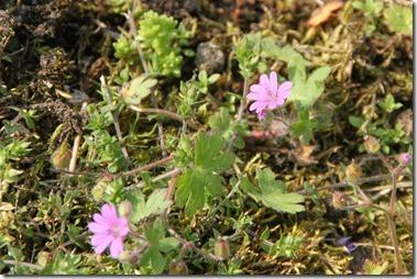 Zachte ooievaarsbek(蘭) ,Geranium molle(学),ヤワゲフウロ,dovesfoot cranesbill(英)