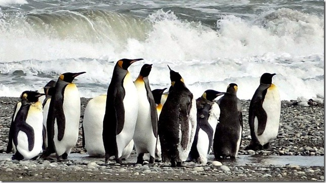 King_Penguins_DSC01023