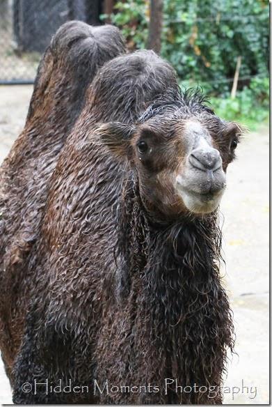 Wet Camel 2