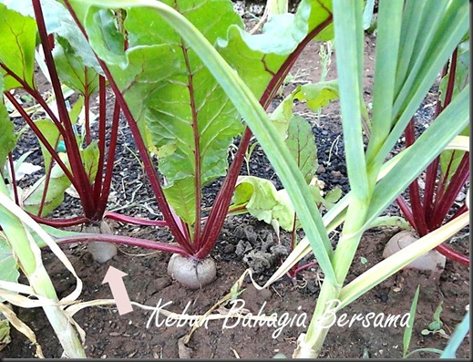 Cylindrical beets growing
