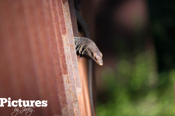 lizard-kings-garden-perth-pictures-by-jacky