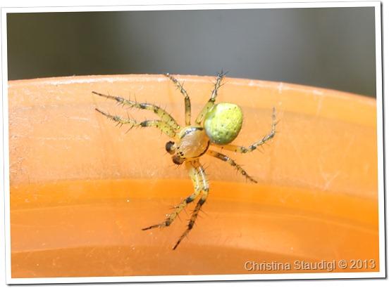 Spinne im Wacholder