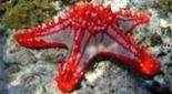 Biodiversité étoile de mer de Linck
